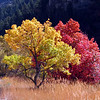 Yellow & Red Tree.  Fall colors, Logan Canyon, UT