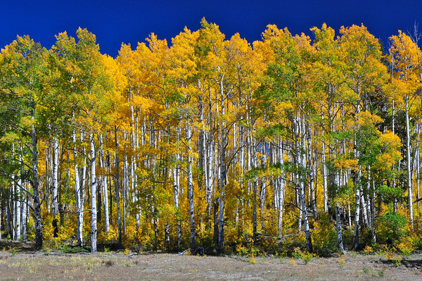 """Aspen Line Up"".  Quaking Aspen Trees, Boulder Mt., Utah"