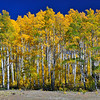 """Aspen Line Up"".  Quaking Aspen Trees, Boulder Mt., Utah"