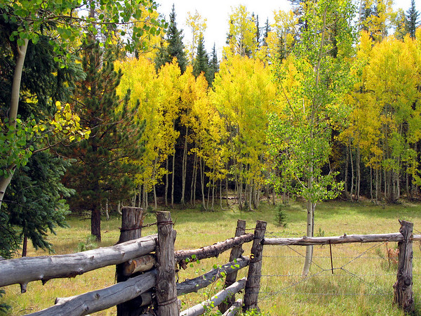 Aspen trees outside of the Grand Canyon National Park, North rim.