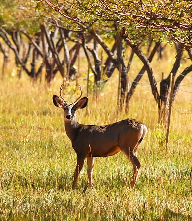 Deer posing in the apple fields in Capitol Reef National Park, UT.