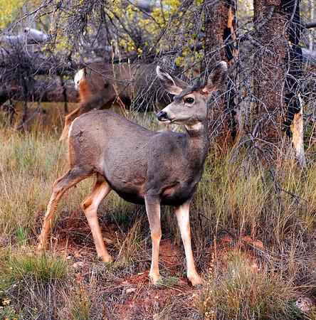 Mule deer, Grand Canyon National Park, North rim.