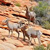 """Ram Overlook"".  Rocky Mt. Big Horn Sheep, Zion National Park, Utah."