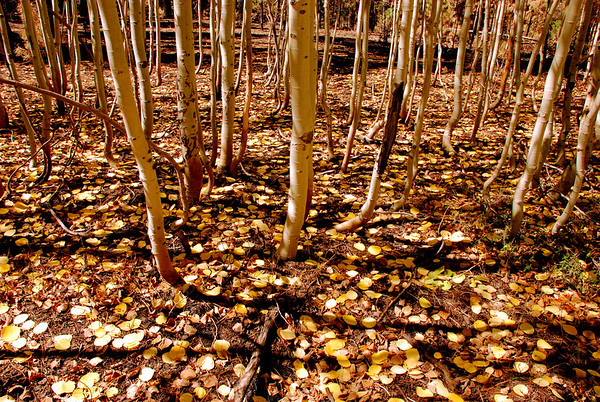 Aspen leaves, outside of North Rim of The Grand Canyon National Park.