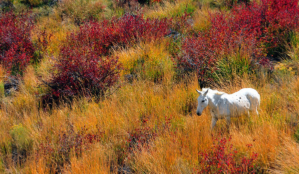White horse in afternoon light.  Hwy 191, Utah.