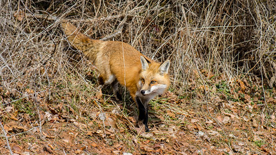 Red Fox in Poolesville