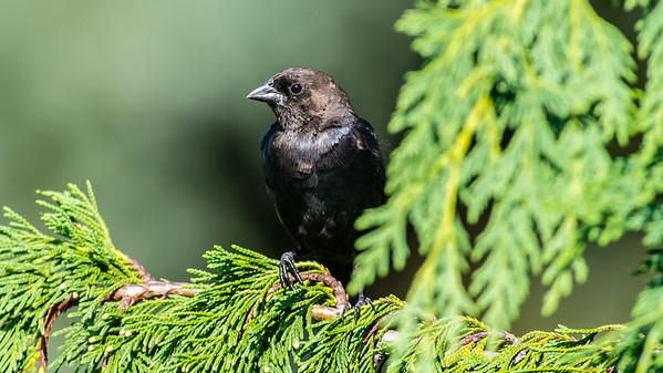 Brown Headed Cowbird