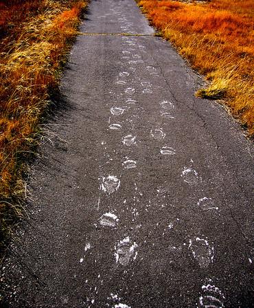 """Bear Tracks"". Yellowstone National Park, WY."