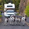 Rocky Mountain Bighorn Sheep. 5:00 PM Yellowstone traffic jam, Yellowstone National Park.