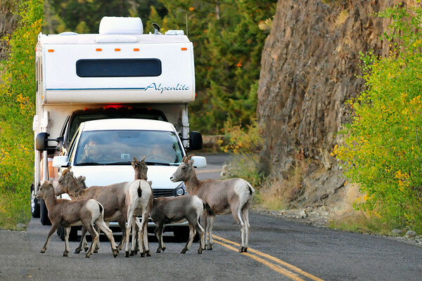 Rocky Mountain Bighorn Sheep. 5:00 PM Yellowstone traffic jam, Yellowstone National Park.