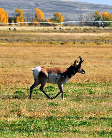 Pronghorn buck antelope on the move. Photo taken near the Oregon Trail, WY.