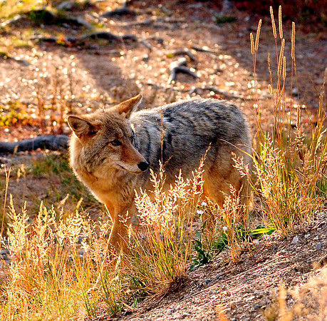 """Coyote in """"magic light"""", Yellowstone National Park."""