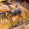 "Coyote in ""magic light"", Yellowstone National Park."