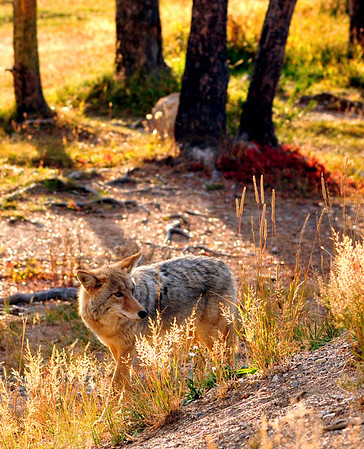 Coyote, Yellowstone National Park.