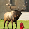 Bull elk and red fire hydrant.  Mammoth Hot Springs, Yellowstone National Park.