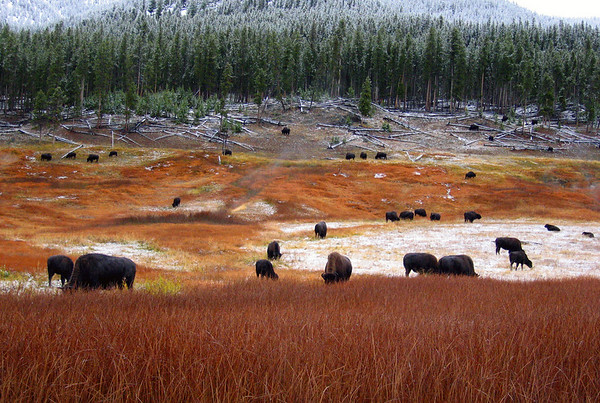 Bison roam and graze on grass still exposed after the seasons first snow storm. Yellowstone National Park, WY.