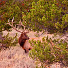 Proud pose, bull elk. Grand Teton National Park