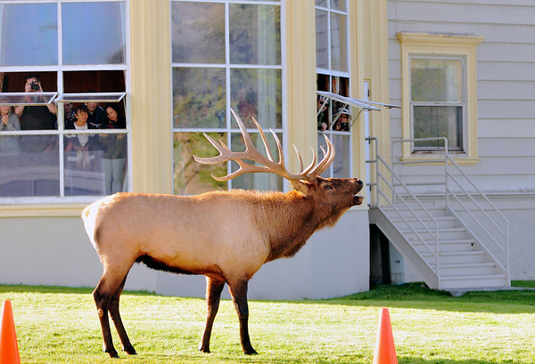 An irritated bull elk squeals out his matting call.  Mammoth Hot Springs, Yellowstone National Park, WY.