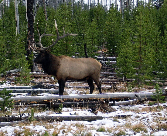 Bull elk posing in the snow.  Yellowstone National Park.