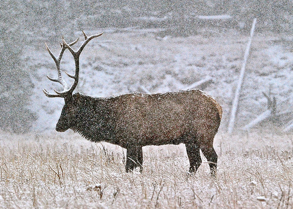 """First Snowfall.  Yellowstone National Park, WY.    <br /> While visiting Yellowstone National Park during the early Fall season, I was intrigued by a small heard of elk that was not far from the road.  I observed the heard from the car window as the weather was cold and rainy.  As temperatures dropped to the low 30's, the air suddenly changed from frozen rain drops to blizzard snow storm conditions. My camera was having difficulty focusing on the bull elk due to the fact the snow flakes were so abundant. I was able to capture one clear shot while still portraying the feeling of winter weather conditions. The snow storm was so heavy that night, the National Park Service closed all roads to and from Yellowstone National Park and we were officially """"snowed in"""" for 24 hours."""