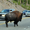 Bison love to walk in the middle of the road and cause traffic jams.  Yellowstone National Park.