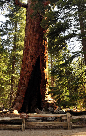 """The """"Grizzly Giant"""" is thought to be the oldest living sequoia at approx. 2,700 years old.  The giant sequoias are in fact the world's largest life form and only found in a small belt of the Sierra Nevada."""