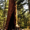 "The ""Grizzly Giant"" is thought to be the oldest living sequoia at approx. 2,700 years old.  The giant sequoias are in fact the world's largest life form and only found in a small belt of the Sierra Nevada."