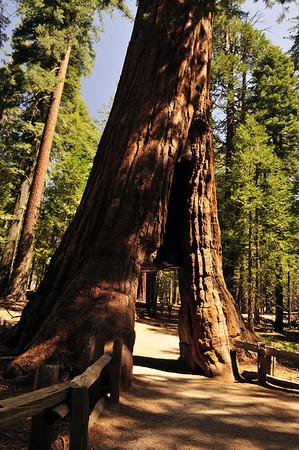 """Mariposa Grove.  """"California Tree"""" has a pedestrian tunnel through it's trunk, cut in the 1895."""