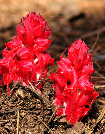 Snow Plant in the springtime, Mariposa Grove, CA.