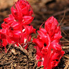 Snow Plant in the springtime, Mariposa Grove, CA.
