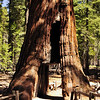 "Mariposa Grove.  ""California Tree"" has a pedestrian tunnel through it's trunk, cut in the 1895."