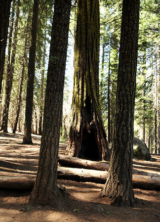 Mariposa Grove.  A giant sequoia tree with it's trunk blown out most likely produced by lighting strikes.