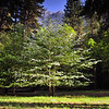 A beautiful Dogwood Tree in full bloom during springtime in Yosemite National Park.