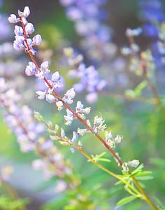 Blue flowers in the Sierra's