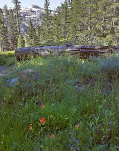 Sierra mountains paintbrush and lupine