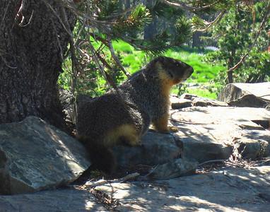 High Sierra Marmot