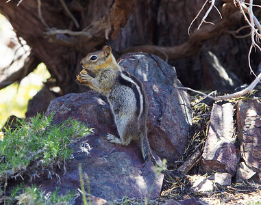 Ground squirrel with food Desolation Valley Sierra Nevada California