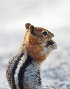 Sierra Nevada ground squirrel