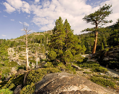 Trailside trees Sierra Nevada California Desolation Valley