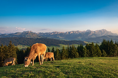 Cows on Pasture in Appenzell