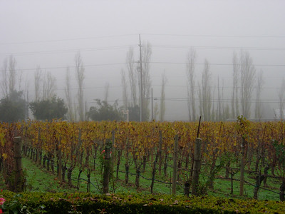 Stags Leap series. Fog and Poplars