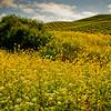 Mustard Flower Forest