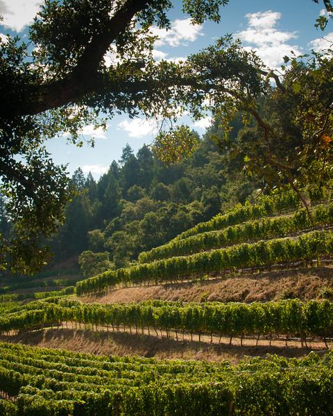Oak Tree with Vine Terracing