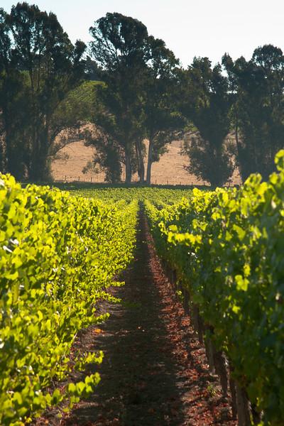 Vines and Eucalyptus
