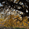 Fall Colors and Oak