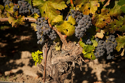 Old Vine Cabernet in Oakville