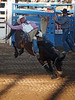 """The rodeo was in Durango and Bronc Riding was one of the featured events.<br /> <br /> From Wikipedia:<br /> <br /> Each competitor climbs onto a horse, which is held in a small pipe or wooden enclosure called a bucking chute. When the rider is ready, the gate of the bucking chute is opened and the horse bursts out and begins to buck. The rider attempts to stay on the horse for eight seconds without touching the horse with his free hand. On the first jump out of the chute, the rider must """"mark the horse out."""" This means he must have the heels of his boots in contact with the horse above the point of the shoulders before the horse's front legs hit the ground. A rider that manages to complete a ride is scored on a scale of 0-50 and the horse is also scored on a scale of 0-50. Scores in the 80s are very good, and in the 90s, are exceptional. A horse who bucks in a spectacular and effective manner will score more points than a horse who bucks in a straight line with no significant changes of direction.<br /> <br /> This guy stayed on four the required eight seconds. Most didn't."""