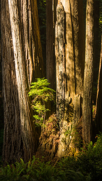 From the decaying remnants of a dead redwood tree, a new sapling finds a foothold.<br /> <br /> Redwood National Park, CA.