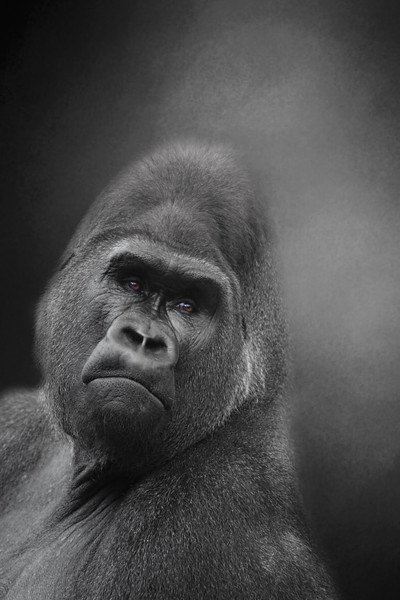 Harambe the 17 year old Silverback gorilla killed at the Cincinnati Zoo