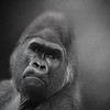Harambe the 17 year old Silverback gorilla killed at the Cincinnati Zoo